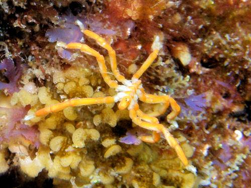 Sea Spiders Also Called Pantopoda Or Pycnogonids Are Marine Arthropods Of Class Pycnogonida They Cosmopolitan Found Especially In The Mediterranean