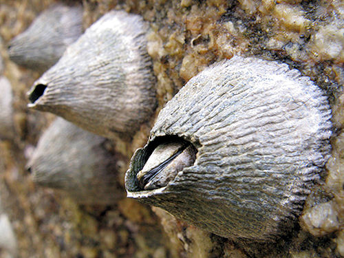 barnacles menu